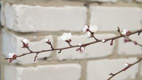 Spring apricot blossoms. apricot-tree flowers stock footage