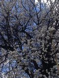 Spring and Apricot royalty free stock photos