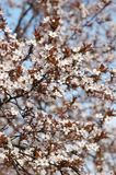 Spring apricot tree flower blossom Stock Photography