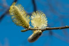 In the spring of April, very beautiful willow buds, photographed close-up. Russia. Saint-Petersburg. In the spring of April, very beautiful willow buds stock photos