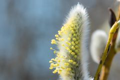 In the spring of April, very beautiful willow buds, photographed close-up. Russia. Saint-Petersburg. In the spring of April, very beautiful willow buds royalty free stock photo