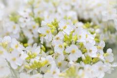 Spring Arabis Stock Image