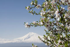Spring in Ararat valley. Abloom tree on Ararat mountain background Stock Images