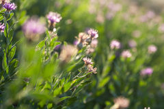 Spring arid meadow with small flowers backlit Royalty Free Stock Photos