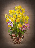 The spring arrangement of daffodils Stock Image