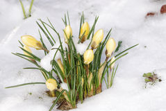 Crocus buds in the snow Stock Photos