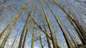 Spring  aspen tree forest and clouds  in wind. Timelapse 4K. Early spring time aspen tree forest and clouds  in storm wind. Timelapse 4K stock video