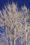 Spring Aspen Trees and Blue Sky Stock Photo