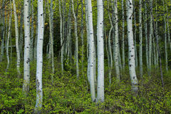 Spring aspens. Stock Photo