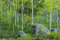 Spring aspens and boulders Royalty Free Stock Photos