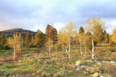Spring aspens. Royalty Free Stock Photos
