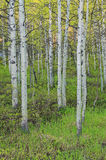 Spring aspens in the woods. Stock Photography