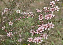 Spring Australian wildflower Leptospernum Pink Cascade flower Stock Photos