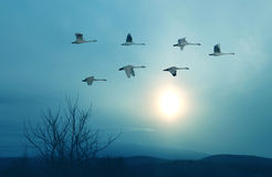 Spring or autumn migration of cranes Stock Images