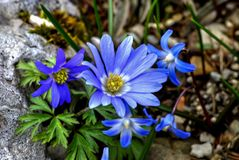 Spring awakening, Anemone flowers in spring, Anemone blanda stock photo