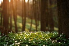 Spring awakening of flowers in forest on background of sunshine Stock Photos