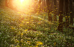 Spring awakening of flowers and vegetation in the forest on suns Royalty Free Stock Images