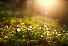 Spring awakening of flowers and vegetation in forest on sunset b Stock Images