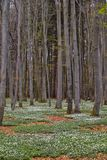 Spring awakening: Forest of hornbeams Carpinus betulus and soil covered with flowering anemones Anemone nemorosa royalty free stock photography