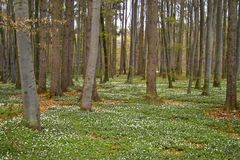 Spring awakening: Forest of hornbeams Carpinus betulus and soil covered with flowering anemones Anemone nemorosa royalty free stock photo