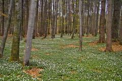 Spring awakening: Forest of hornbeams Carpinus betulus and soil covered with flowering anemones Anemone nemorosa stock images