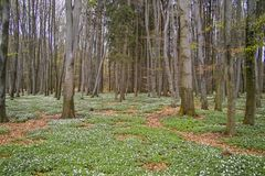 Spring awakening: Forest of hornbeams Carpinus betulus and soil covered with flowering anemones Anemone nemorosa stock photo
