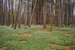 Spring awakening: Forest of hornbeams Carpinus betulus and soil covered with flowering anemones Anemone nemorosa stock photos