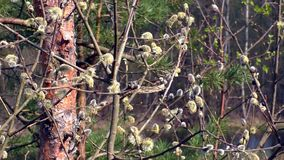 The sprouts on the branches of a willow. Spring awakening of the nature stock footage