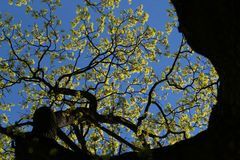 Spring awakening in park. Budding tree in park at the end of April Stock Photo