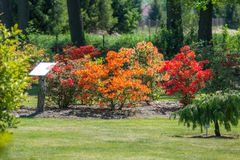 Spring azalea bushes. Blooming spring azalea bushes in red and orange color in the arboretum Royalty Free Stock Photo
