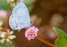Spring Azure butterfly. Spring azure (Celastrina ladon) on spiny pink flower Royalty Free Stock Photo