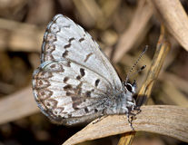 Spring Azure. The Spring Azure is a butterfly that can be found in riparian areas, open woodlands and meadows of North America from Alaska and Canada south of stock photography