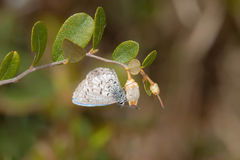 Spring Azure Butterfly Royalty Free Stock Photography