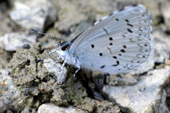 Spring Azure Butterfly on Gravel Royalty Free Stock Photo