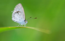Spring Azure Butterfly Stock Images
