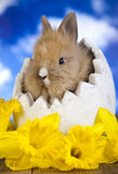 Spring baby bunny Royalty Free Stock Image