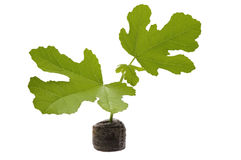 Spring baby plant. fig tree Stock Photos
