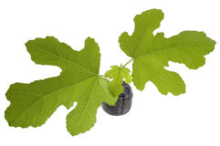Spring baby plant. fig tree Stock Photo
