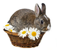 spring baby rabbit in a basket Royalty Free Stock Photo