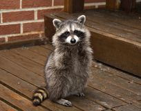 Spring Baby Raccoon. A spring raccon that lives in an Ohio suburb - looks like he's begging