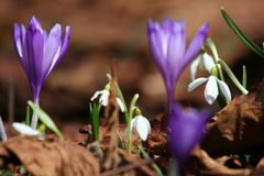 Spring is back. Spring flowers popping up Royalty Free Stock Photo