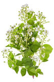 Spring backberry white flowers Royalty Free Stock Image