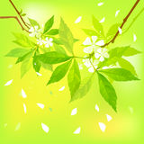 Spring background. Spring background with white flowers Royalty Free Stock Photo