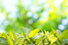 Spring Background. Close Up Leafs  With Defocused Background Concept For Spring And Summer Royalty Free Stock Photo