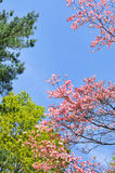 Spring Background. Pink flowering dogwood, chartreuse maple flowers and green pine needles against clear blue sky Stock Photography