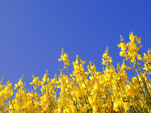 Spring background. Scotch Broom in full bloom at spring Stock Photography