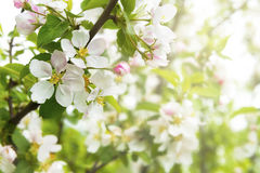 Spring background with apple flowers Royalty Free Stock Photography