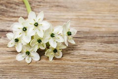 Spring background with arabian star flower (ornithogalum arabicu. M). Party decoration Royalty Free Stock Photos