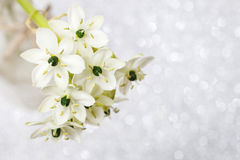 Spring background with arabian star flower (ornithogalum arabicu. M). Party decoration Stock Photo