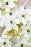 Spring background with arabian star flower (ornithogalum arabicu. M). Party decoration Stock Photography